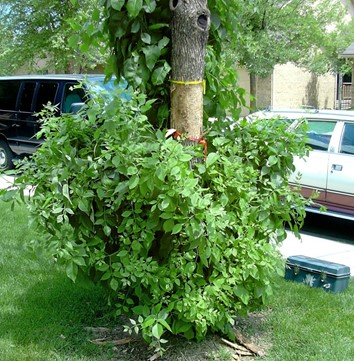 Pousse de branches dans le bas